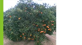 cultivo citricos