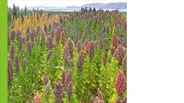 cultivo quinua